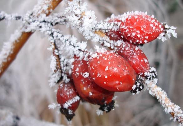 Hagebuttenfrost