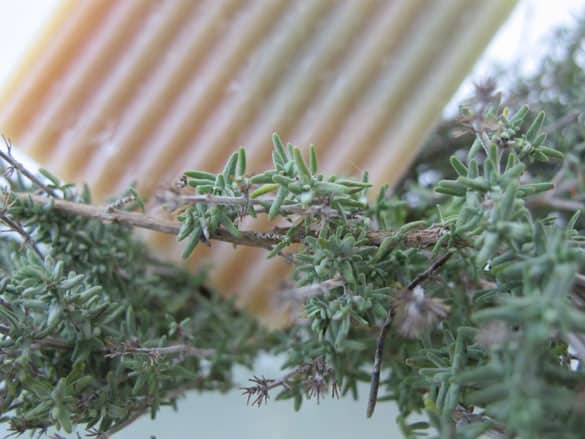 thymian-lemongras-duschseif